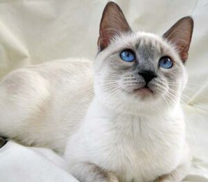 Lillac Point Siamese