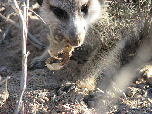 Meerkat eating snake - photo#26