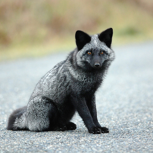 Russian Domesticated Siberian Silver Fox - Canid Wiki