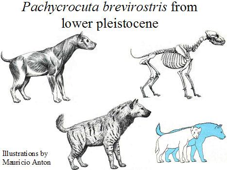pachycrocuta  Size comparison to Pachycrocuta Brevirostris
