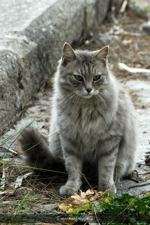 Big Solid Brown Cat With Thick Fur