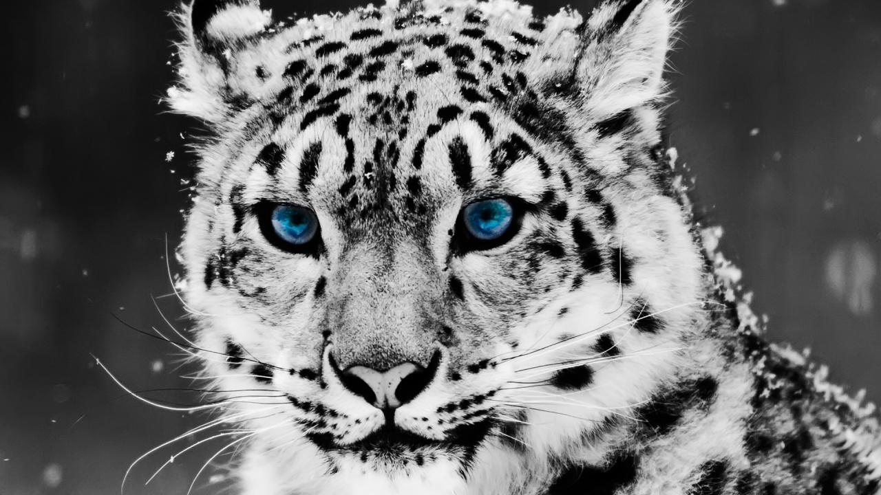 Neko neko no mi model snow leopard one piece ship of - Chat type leopard ...